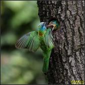 石門水庫‧五色鳥想飛:IMG_10.jpg
