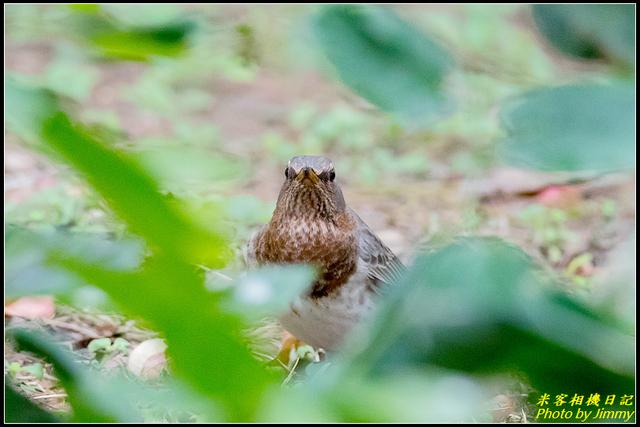 IMG_04.jpg - 金青赤頸鶇