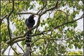 三坑自然生態公園‧台灣藍鵲遨遊飛翔:IMG_04.jpg