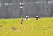 2018.11.10.小鳥個展身手:2018.11.10.小鳥..後龍拍 152.JPG