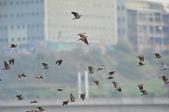 2018.11.10.小鳥個展身手:2018.11.10.小鳥..後龍拍 143.JPG