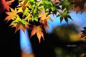 《愛玩足跡》2017.11.22.福壽山賞楓紅:2017.11.22.福壽山拍楓 091.JPG