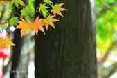 《愛玩足跡》2017.11.22.福壽山賞楓紅:2017.11.22.福壽山拍楓 225.JPG