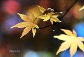 《愛玩足跡》2017.11.22.福壽山賞楓紅:2017.11.22.福壽山拍楓 217.JPG