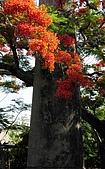 大湖番茄會社鳳凰花:DSC074.JPG