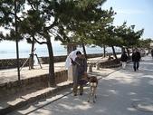 6 days in Japan:廣島的宮島上的小鹿