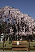 關西賞櫻花行DAY3:櫻花像瀑布一樣!