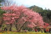2012.Feb-[台中和平] 武陵農場賞櫻:21_這棵很正點.JPG
