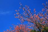 2014.Dec-[雲林虎尾、莿桐] 虎尾建成路美人樹、樹仔腳天主堂:02_不輸櫻花的美.JPG
