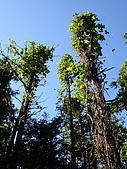 2008.Nov-[南投信義] 東埔雲龍瀑布:08_藤蔓纏身的樹木.jpg