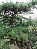2008.Feb-[台中北屯區] 大坑4號步道:10_美麗的松樹.jpg