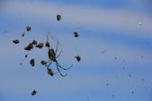 2014.Jan-[南投信義] 烏松崙:02_弱肉強食〈蜘蛛旁邊都是蜜蜂的大體...〉.JPG