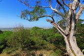 2020.Oct-[台中大肚] 萬里長城登山步道:14_造型奇特的樹.JPG
