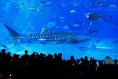 2017.Apr-[日本沖繩] 沖繩:30_美之海水族館的鎮館之寶「鯨鯊」.jpg