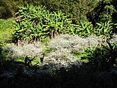 2011.Feb-[苗栗泰安] 洗水坑李花:08_二月雪.JPG