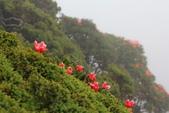 2014.May-[南投仁愛] 合歡山杜鵑:11_含苞待放的杜鵑.JPG
