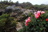 2014.May-[南投仁愛] 合歡山杜鵑:13_美豔的花朵與破碎的岩石形成強烈對比.JPG