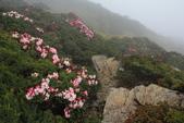 2014.May-[南投仁愛] 合歡山杜鵑:15_岩縫中綻放的美麗.JPG