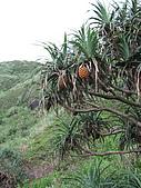 2009.05.May-[台北縣] 平溪、東北角:43_樹上的鳳梨(這是林投樹啦!).JPG