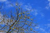 2014.Dec-[雲林虎尾、莿桐] 虎尾建成路美人樹、樹仔腳天主堂:09_這棵已經結實累累.JPG