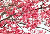 2012.Feb-[台中和平] 武陵農場賞櫻:17_梨山路旁的櫻花很古錐.JPG