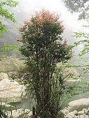 2009.Apr-[南投竹山] 杉林溪:15_萬綠叢中一點紅.JPG