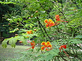 2008.Sep-[高雄茂林] 茂林:08_火焰般熱情的花朵.JPG