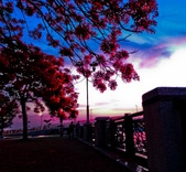 綜合:台南運河鳳凰花t-64.jpg