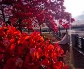綜合:台南運河鳳凰花t-26.jpg