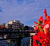 綜合:台南運河鳳凰花t-22.jpg