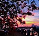 綜合:台南運河鳳凰花t-52.jpg