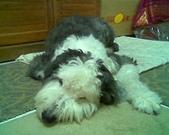 狗寶貝:累了休息中.jpg