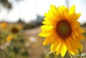 午後,向日葵:0T9A4915-1.jpg