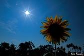 午後,向日葵:0T9A4901-1.jpg