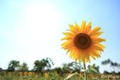 午後,向日葵:0T9A4903-1.jpg
