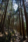 觀霧森林:筆直的樹,高聳參天