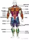 成人保健:前側肌肉.jpg