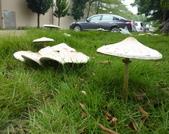 草皮突然冒出の野菇:草皮突然冒出の野菇