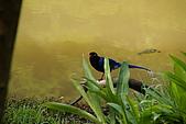 20080427汐止翠湖的台灣藍鵲:DSC04390.JPG