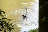20080427汐止翠湖的台灣藍鵲:DSC04307.JPG