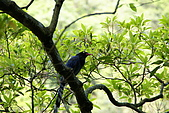 20080427汐止翠湖的台灣藍鵲:DSC04355.JPG