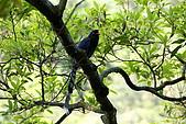 20080427汐止翠湖的台灣藍鵲:DSC04356.JPG