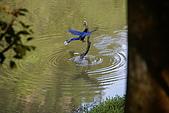 20080427汐止翠湖的台灣藍鵲:DSC04361.JPG