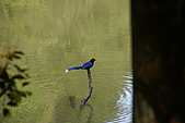20080427汐止翠湖的台灣藍鵲:DSC04362.JPG
