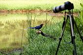 20080427汐止翠湖的台灣藍鵲:DSC04370.JPG