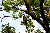 20080427汐止翠湖的台灣藍鵲:DSC04373.JPG