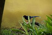 20080427汐止翠湖的台灣藍鵲:DSC04388.JPG