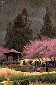 2015-02-14 武陵櫻花:IMG_0823.JPG