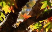2011-12-18 稍來山步道-楓紅:2011121712.JPG