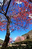 2015-02-14 武陵櫻花:IMG_0773.JPG